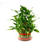 Lucky Bamboo 3 Layered Indoor Plant in vase with luck plants stacked up in red ribbon