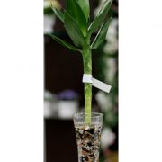 Lotus Bamboo Lucky Plant in glass tumbler vase with thick stem of the lucky plant growing and spreading its flat leaves in lotus form