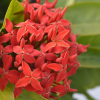 Ixora dwarf red annual flower plant flowers blossoming from the plant - the ixora dwarf red flower plant available for sale in Hyderabad