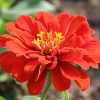 Red Zinnia Perennial Flower Plant Blossomed With Red Color Petals And Yellow At Center