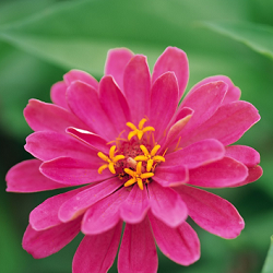 Pink Zinnia Flower Plant Product Photography That Blossoms With Pink Petals & Having Yellow Color at center