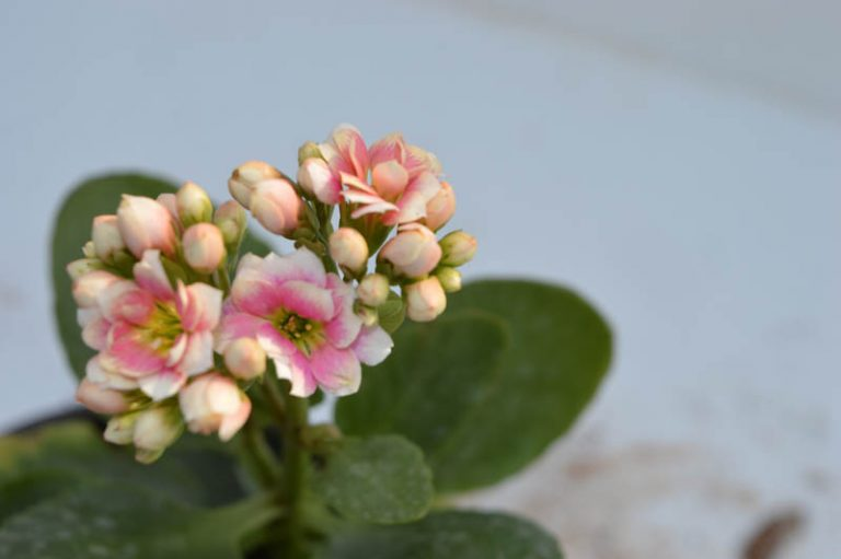 Kalanchoe Baby pink – Plant 1