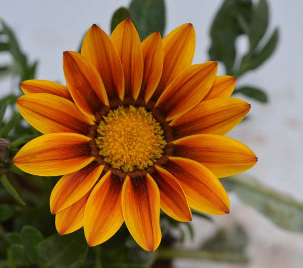 Gazania (Yellow – Orange) – Plant 1