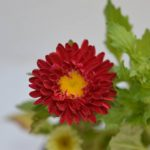 Buy Aster red seasonal flower plant online in Hyderabad at best prices