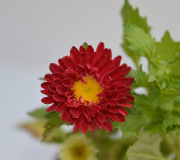 Aster (Red) – Plant 1