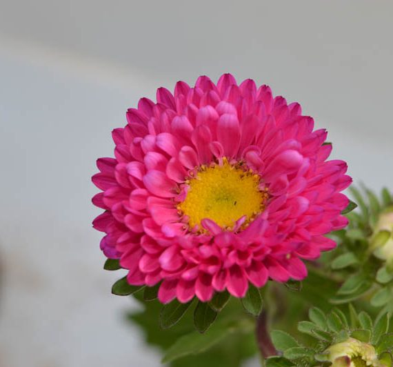 Best buy Pink Aster seasonal Flower Plant at reasonable price online in Hyderabad