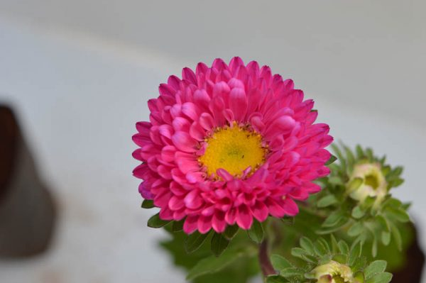 Pink Aster Flower Plant