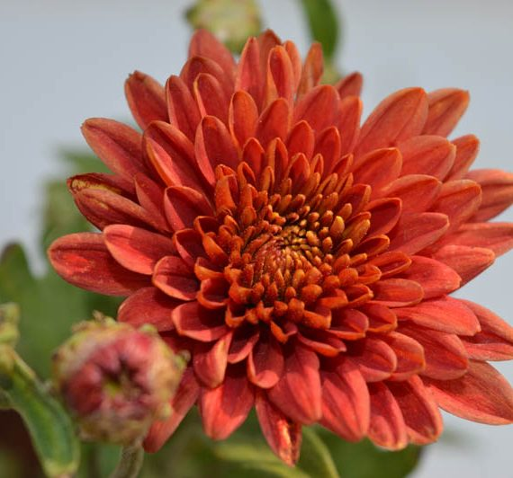 Red Chrysanthemum flower plant with red flower blossoming red petals