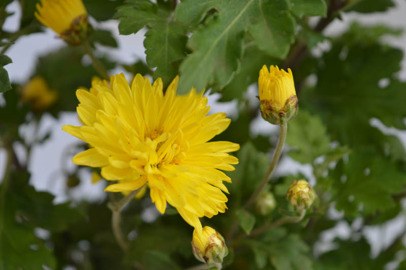 Yellow Chrysanthemum flower plant with flower blossoming from the plant with yellow petals