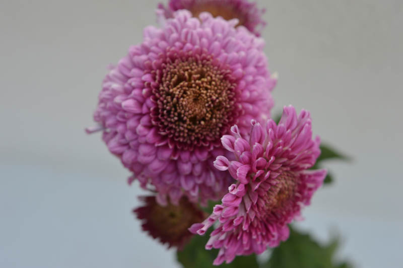 Purple Shevanti or Chrysanthemum flower plant with flower blossoming, petals in purple color and yellow at the center