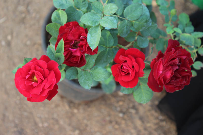Rose-floribanda - red