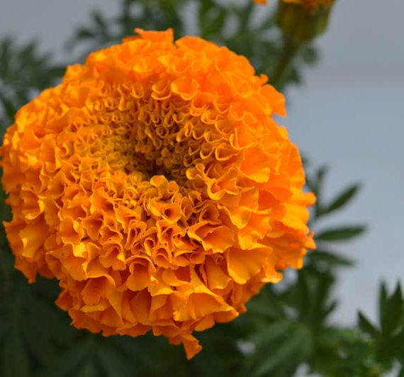 Marigold Orange flower plant with photograph of flower blossoming in orange color with leaves to the plants - Marigold orange flower plants is avaliable for sale online in Hyderabad