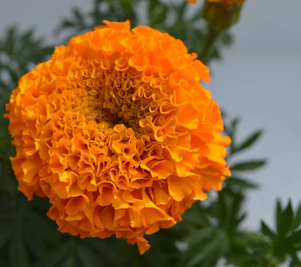 Marigold (Orange) Plant