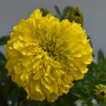 Marigold Yellow flower plant with green leaves and steam, at the end of the branch with flower blossoming from the flower plant - Yellow Marigold flower plant is available for sale online in Hyderabad