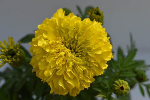Marigold (Yellow) Plant
