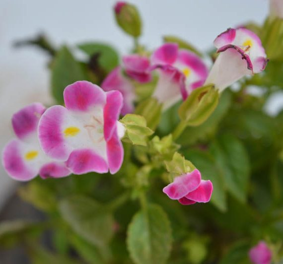Torenia Or Wishbone Pink flower plant blossoming with flower and glittering with pink petals with moon inside of it.