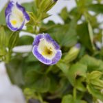 Torenia violet moon flower plant with flower blossoming from the plant. The flower with violet petals and dim yellow at center.