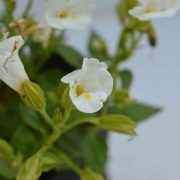 White Torenia/Wish-flower plant with flower blossoming in white petals and yellow at center of the flower