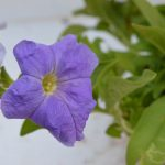 Blue Petunia Flower plant photo with flower blossoming from plant with blue color petals