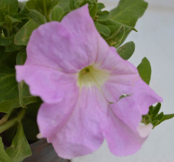 Lavender Petunia Flower Plant With Flower Blossoming Photo captured beautifully and elegantly