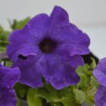 Petunia Violet flower plant with flowers blossoming in violet color petals