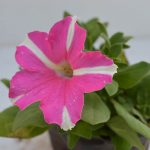 Petunia pink and white flower plant with flower blossoming