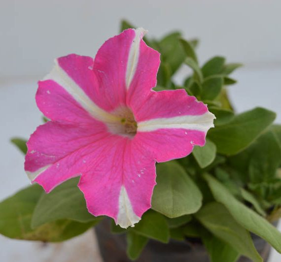 Petunia (Baby Pink with White Strip) - Plant