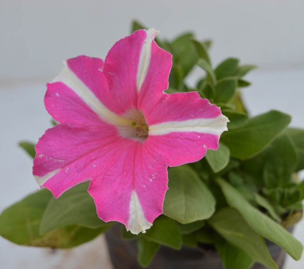 Petunia (Baby Pink with White Strip) – Plant 1