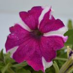 Petunia purple with white strip flower plant with photo of flower blossoming from the plant with all beauty of nature