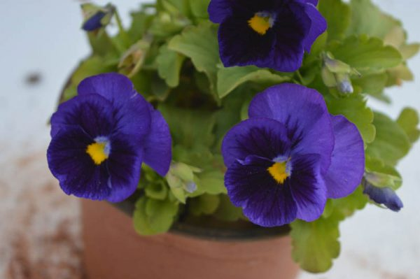 Pansy (Violet and Black) 1