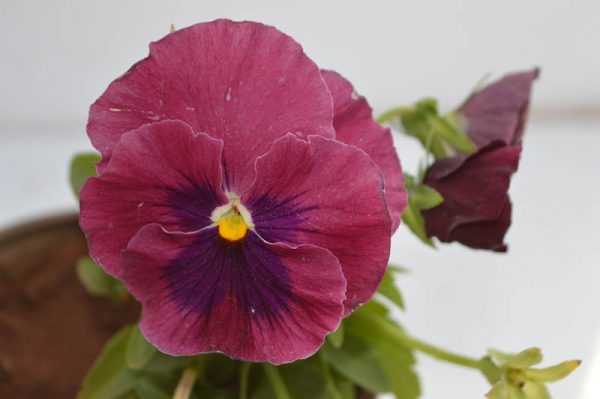 Pansy (Purple and violet) 1