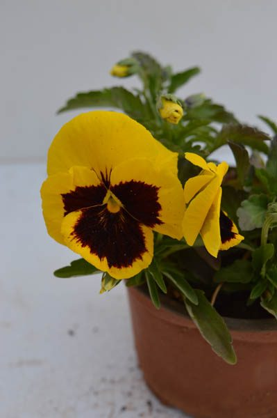 Pansy (Yellow and Maroon) 1