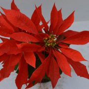 Poinsettia Red is perennial flower plant that blossoms its flowers in red flowers and green leaves - Poinsettia Red flower plant is available for sale online in Hyderabad