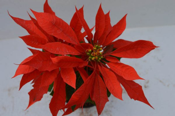 Poinsettia (Red) Plant