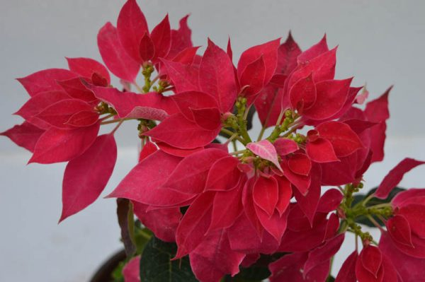 Poinsettia (Pink) Plant