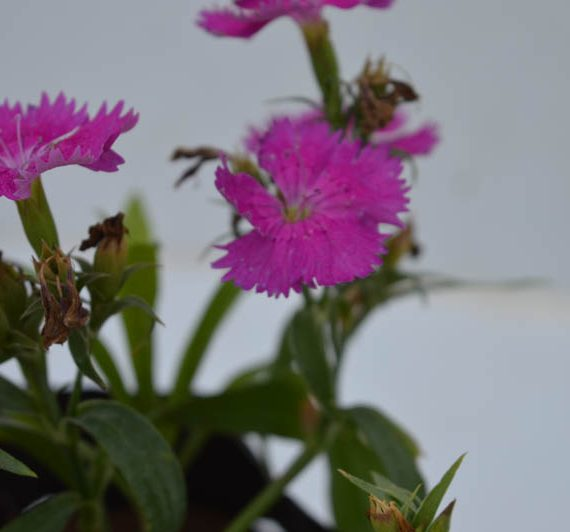 Dianthus (Purple) - Plant
