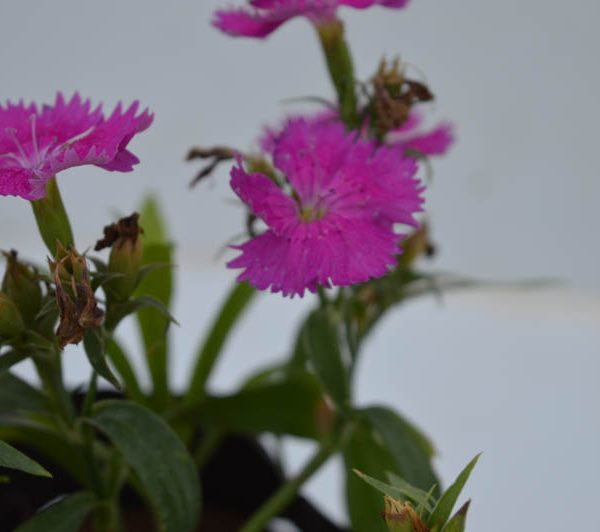 Dianthus (Purple) – Plant 1