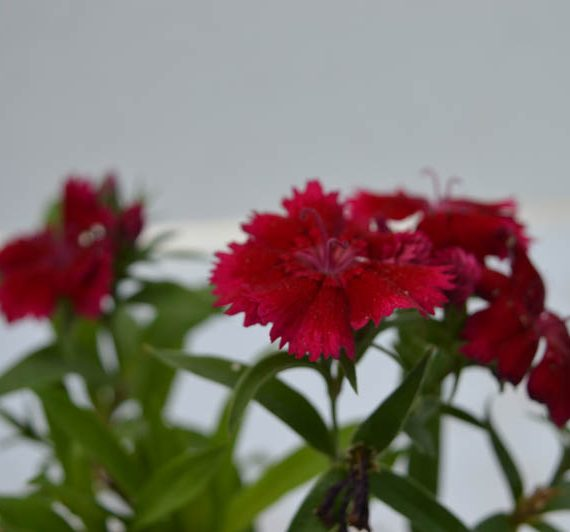 Dianthus Red flower plant best buy online in Hyderabad from top leading nursery plantkart