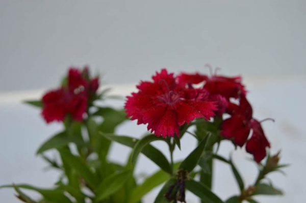 Dianthus Red flower plant at best prices online