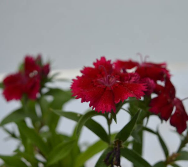 Dianthus (Red) – Plant 1