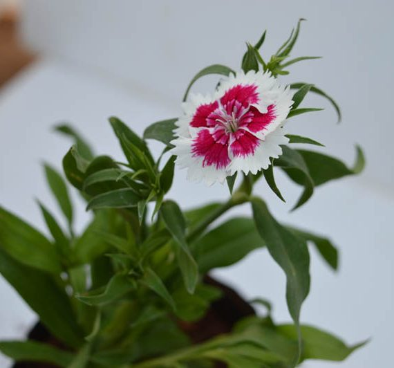 Dianthus (Red White) - Plant