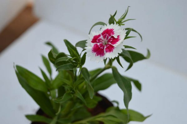 Dianthus red and white flower plant for sale on online