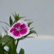 Dianthus (Pink White) - Plant