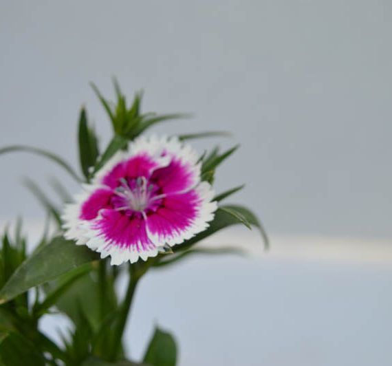 Best buy Dianthus Pink and White Flower Plant buy online at low price in Hyderabad