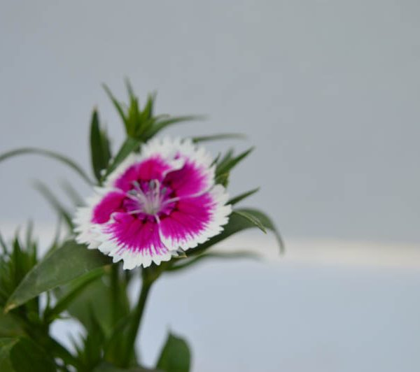 Dianthus Pink and White Flower Plant at best price online