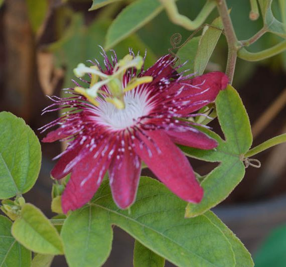 Lady Margaret Passion Flower with raspberry color flower petals blossoming from the plant with white at center of the flower - The Passion Flower available for sale online in Hyderabad
