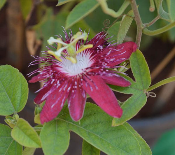 Passiflora Incarnata (Strawberry Red)