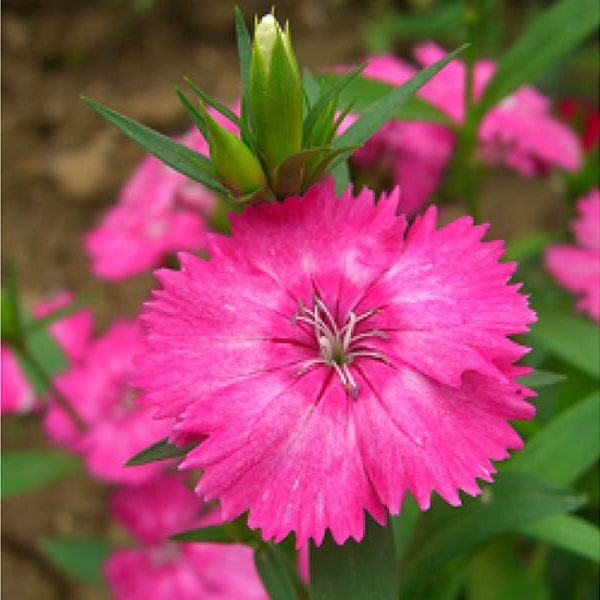 Pink Dianthus Flower Plant Online For Purchase