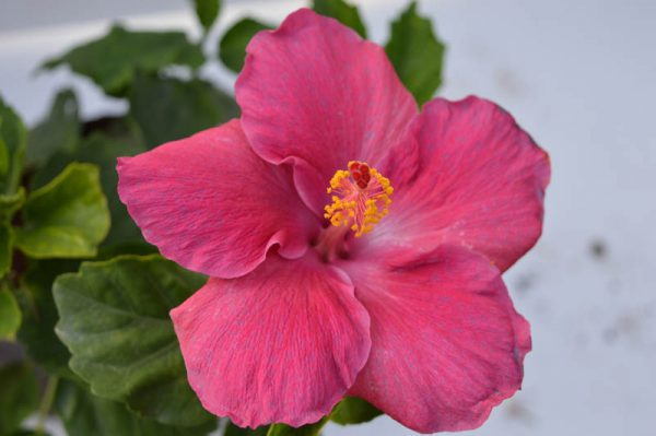 Hibiscus (Pink) Flower Plant