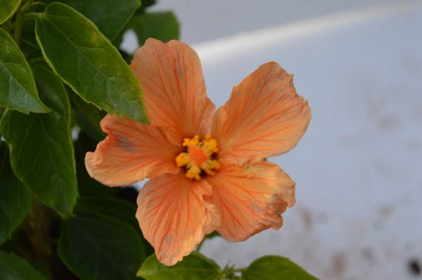 Hibiscus Orange Annual Flower Plant